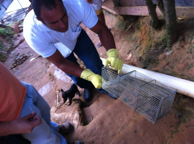 Collecting rat specimens to test for leptospirosis in Pau da Lima.