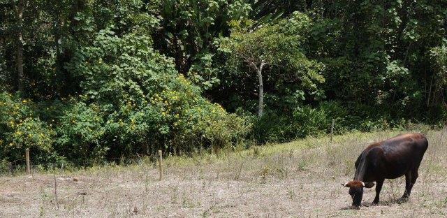 A conventional, overgrazed pasture, El Dovio, Colombia.