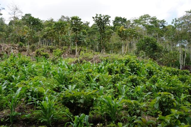 Nacadero intercropped with maiz and chacha fruit, El Dovio, Colombia