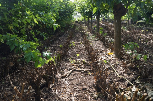 A freshly harvested mulberry fodder bank is already resprouting, El Guayabo, Costa Rica.