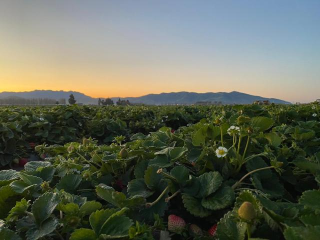 Strawberry plants in Ventura County. (Photo by Amadeo Sumano.)